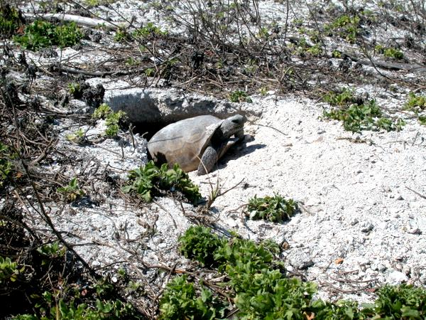 Gopher Tortoise at home in her Egmont Key burrow.