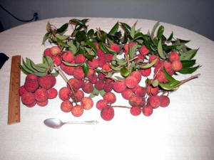 Lychee fruit after picking_photo.jpg