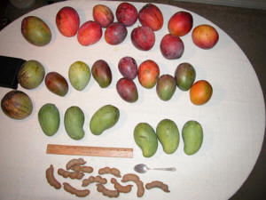 mangoes and tamarind fruit from Pine Island Florida.jpg
