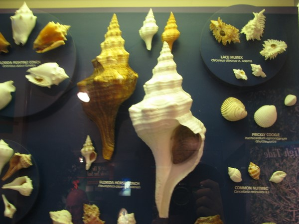 Common Florida Shells on display at the Sanibel Shell Museum.