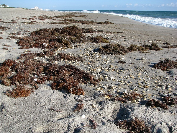 Sargassum drying on a Florida beach.