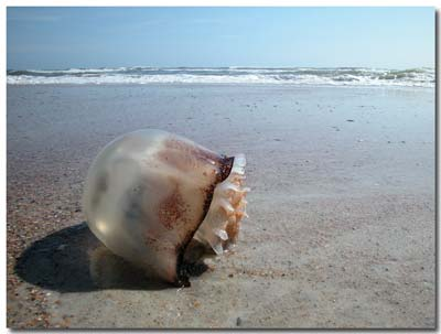 Stomolophus meleagris on a Florida Beach