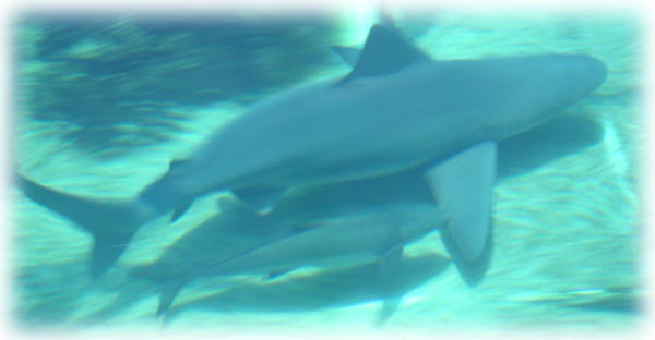 Cobia swimming alongside a large shark