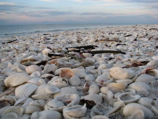 Shells On A Sanibel Beach